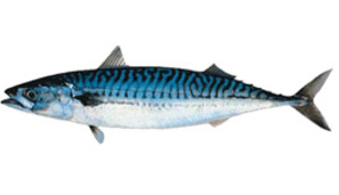 Scrumbia albastra